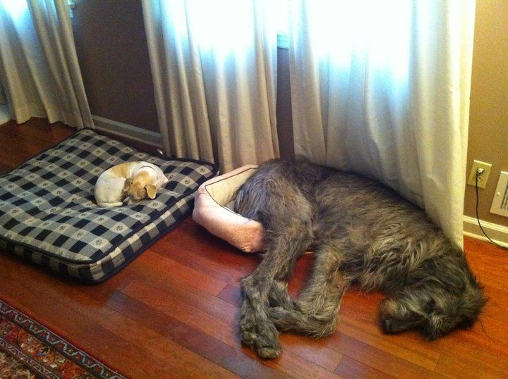 one of our family's past dogs was a cross between a great irish wolf hound and a chocolate lab... picture the dog on the right with brown fur. And he used to try to curl up in the cat bed even though he had the exact same dog bed as the little dog is claiming