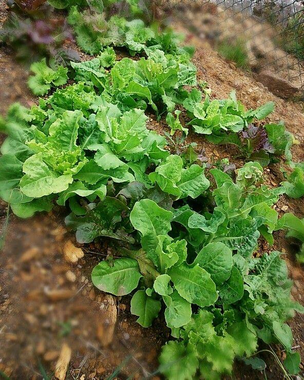 Nuestras lechugas siguen creciendo #quierosergranjera #huerto #ecológico #letsgocamping #riadearosa