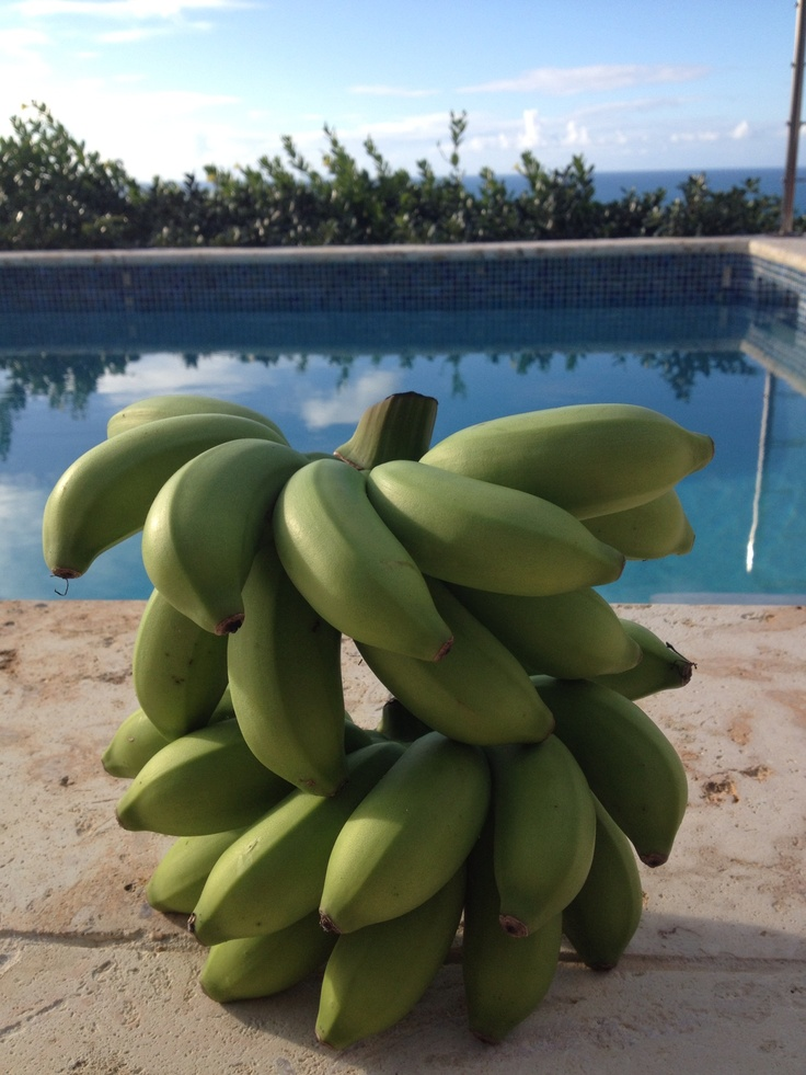 March 2013 bananas from our tree !