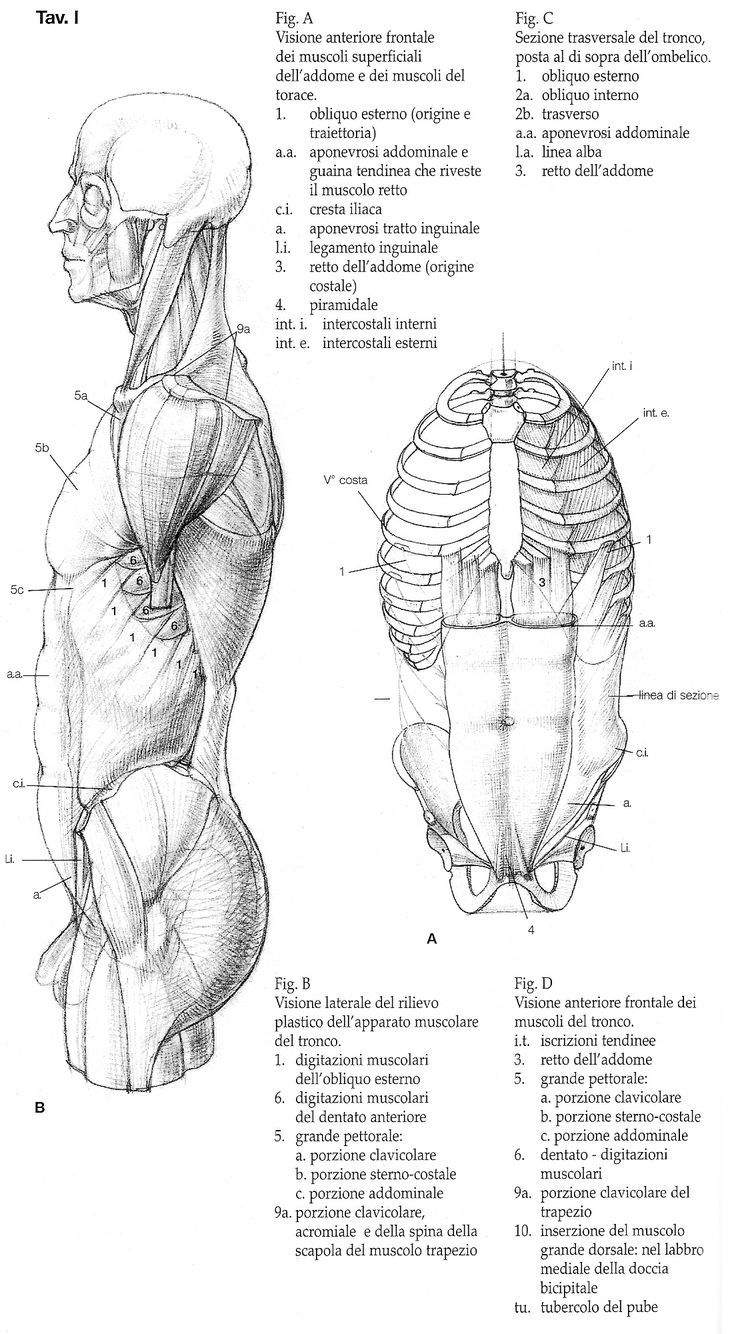 422 best anatomia images on Pinterest