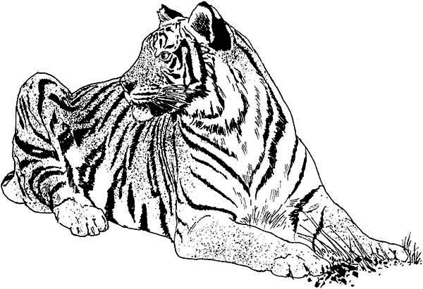 Tiger An Illustration Of White Tiger And Its Habitat Coloring