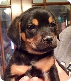 ST LOUIS, MO - Beagle/Rottweiler Mix. Meet Clyde a Puppy for Adoption.