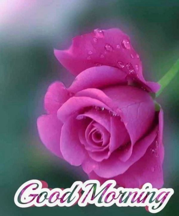 Picture Good Morning With Dark Pink Rose Good Morning Roses