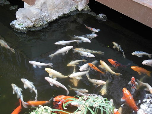 55 best images about pond waterfall ideas on pinterest for Sick koi fish