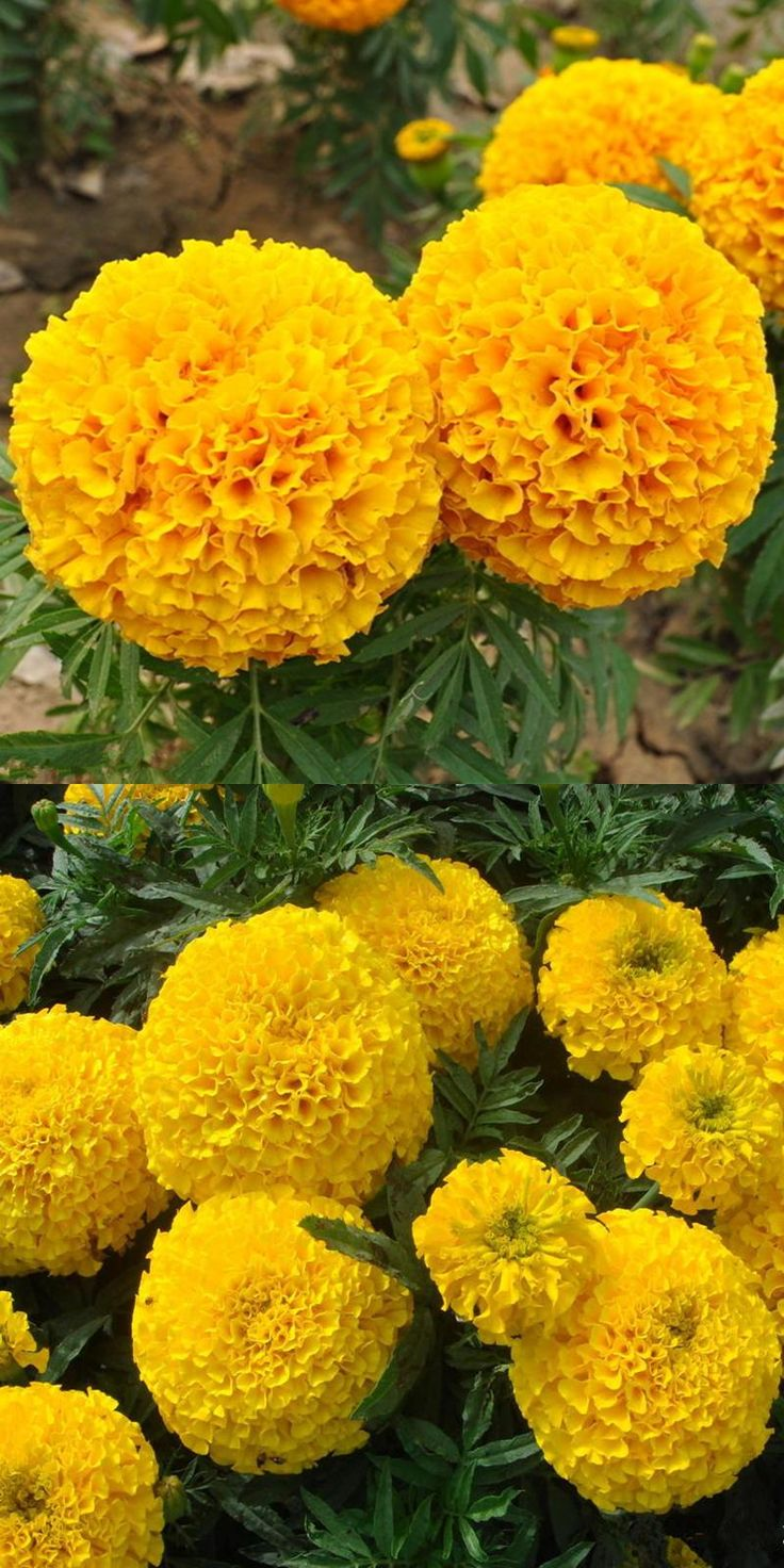 """[Visit to Buy] 500PCS  GOLD Yellow color """"CHARM"""" NO.2 Marigold Seeds,  Tagetes erecta quality flower seeds Suitable for large area planting #Advertisement"""