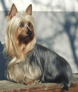 Silky Terrier. They are members of the toy group. They are great vermin hunters. They stand at 9-10 inches at the shoulder and weigh about 10 pounds.