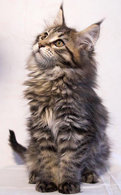What a cute Maine Coon kitten!