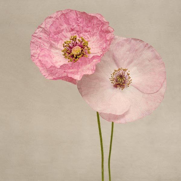 "Poppy Art, Fine Art Flower Photography Print ""Pink Poppies No. 7"" from Rocky Top Studio"