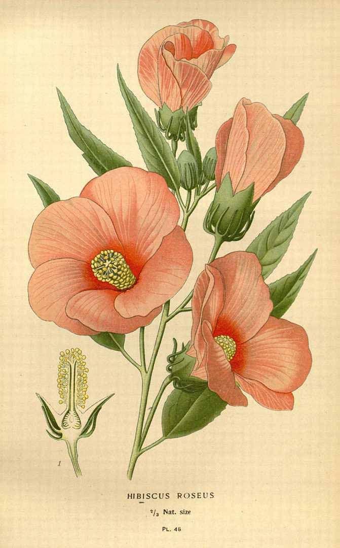 Hibiscus flower, vintage botanical print • botanical ilustration • flor de hibisco • vintage • ilustração botânica •