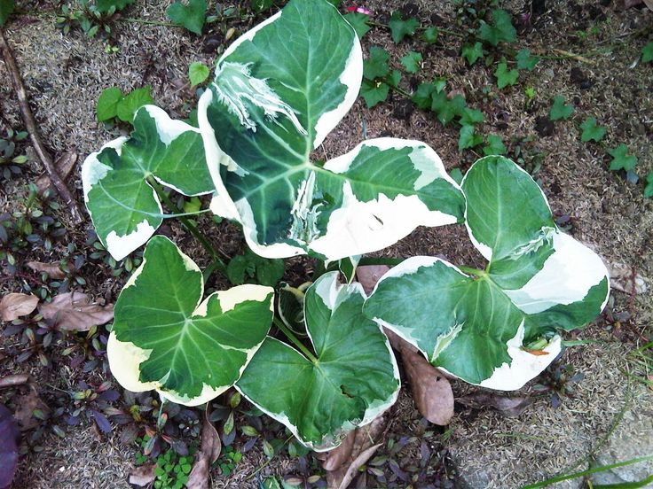variegated Taro, Mickey Mouse ears | Gardening ...