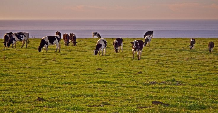 The cows of West Marin. | 21 Reasons Marin County Is The Most Beautiful County