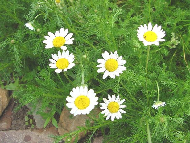 chamomile | The Musings of a High Priestess: Chamomile - a Magickal Herb