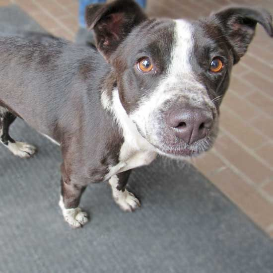 CASSIE - 2 YRS. OLD   Dogs & Puppies for Adoption in San Diego   Helen Woodward Animal Center