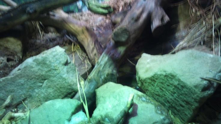 Anaconda darling