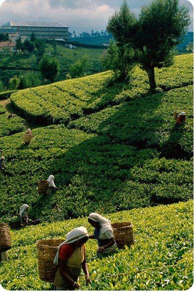 tea plantation. Sri Lanka #srilanka #inspirevoyage bookings@inspirevoyage.com http://holidays-in-lanka.co.uk/