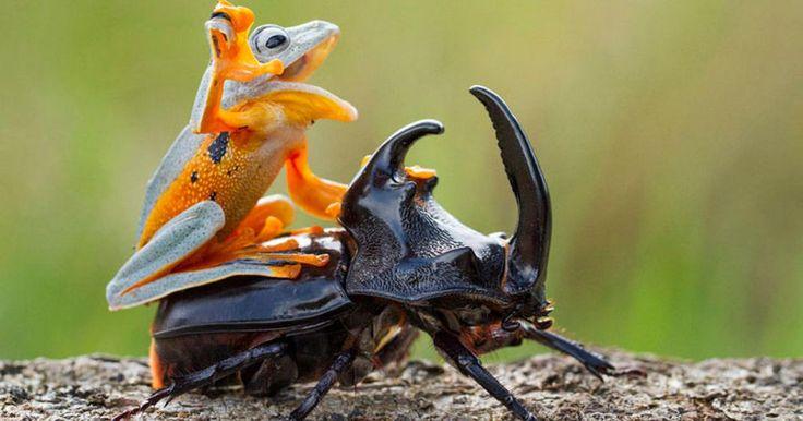 Hendy Mp es un talentoso fotógrafo de la vida natural, y lo que el capturó es talvez una de las cosas más extrañas que verás en tu vida. ¿Te imaginas a una rana montando a un escarabajo por diversión? Pues él pudo tomar fotografías de ese momento único en la vida. Esta inusual escena fue tomada cerca de Sambas, Indonesia. Hnedy es un fan de la fotografía macro y el suele capturar bellas escenas de insectos, reptiles y anfibios en esa zona del plaenta.