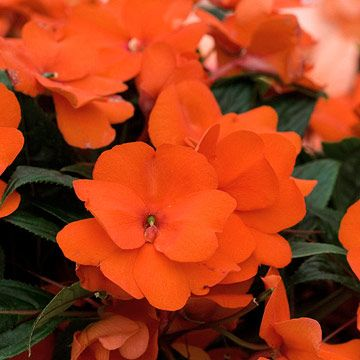 New Guinea Impatiens 'Celebration Orange' - Plant Encyclopedia - BHG.com
