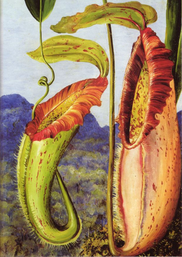 Marianne North's painting of Nepenthes northiana.