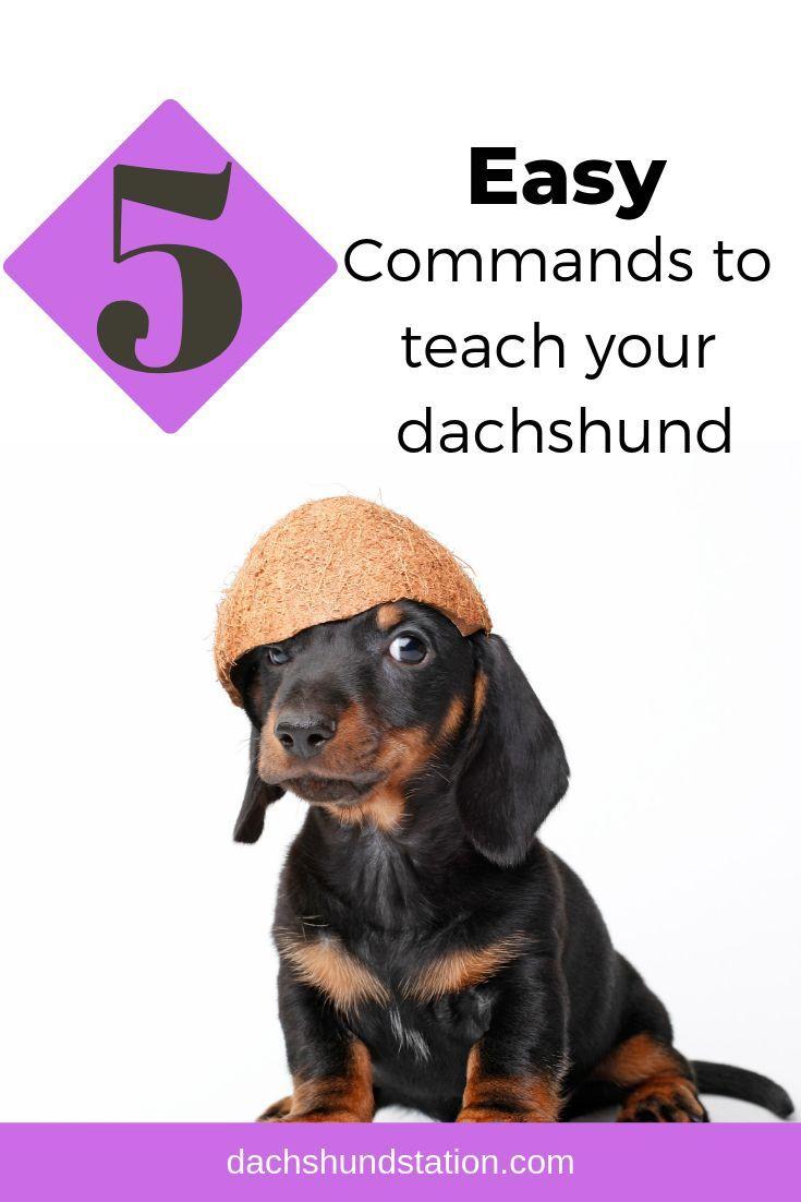 5 Easy Commands To Teach Your Dachshund Dachshund Dog Training