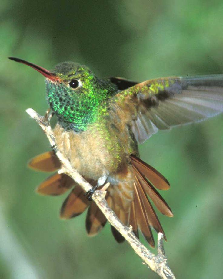 Hummingbird Nesting Habits | Sciencing