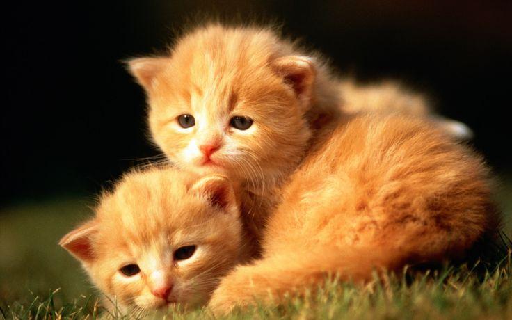 HD Sweet Kitty : Adorable Fluffy Baby Kittens Widescreen Wallpapers  1920*1200   Wallpaper 2