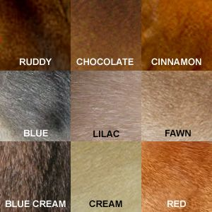 Aksum Abyssinians About Abys: care, etc. pictured here: Color Comparisons