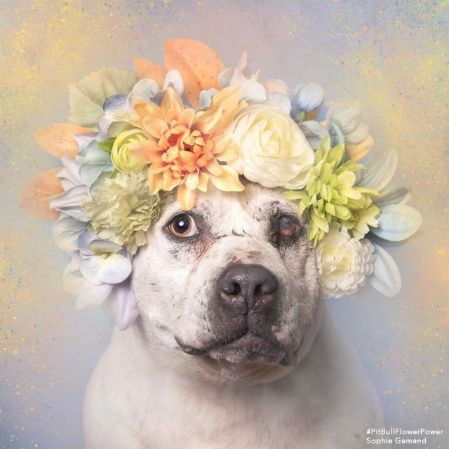 "Abused Pit Bull Gets Transformed In Touching Photo Shoot by Sophie Gamand and her magical ""Flower Power"" series, one that shows pit bulls in a softer light by way of homemade flower crowns and pastel backdrops"
