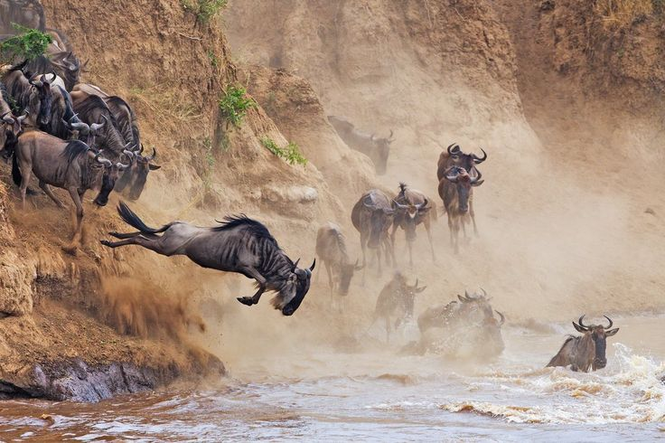 A wildebeest leaps into the river during the great migration in Africa.