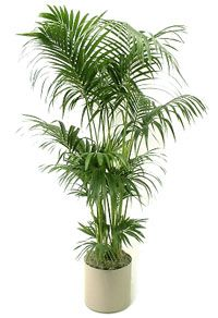 Indoor House Plant: Palm Tree Kentia Palm Tree Howea Forsteriana