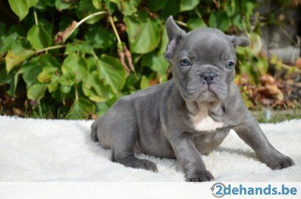 Pups | Blauwe Franse Bulldog pups | 2dehands.be