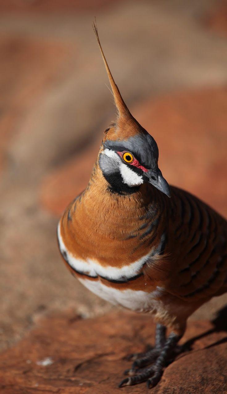 Spinifex Pigeon (Geophaps plumifera), Northern Territory, Australia. I saw these in Uluru Park