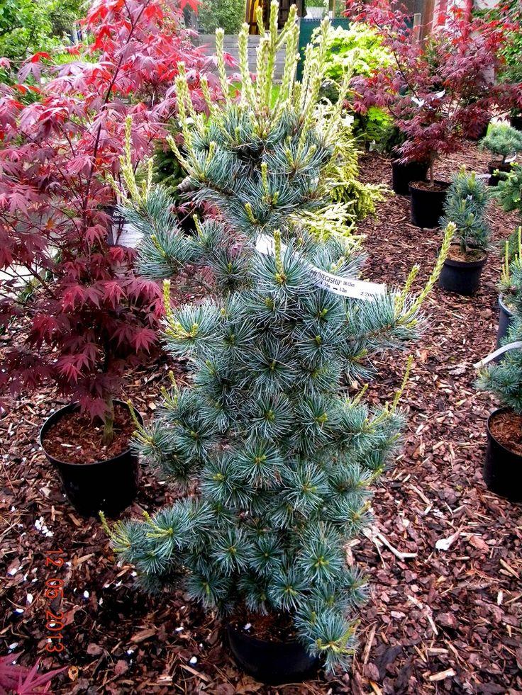 Pinus parviflora NEGISHI 2