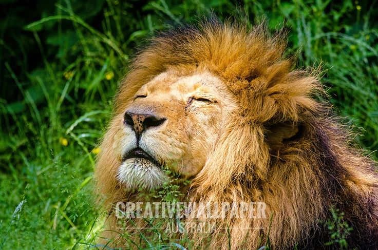 African Lion Wall Mural, Wall Decals