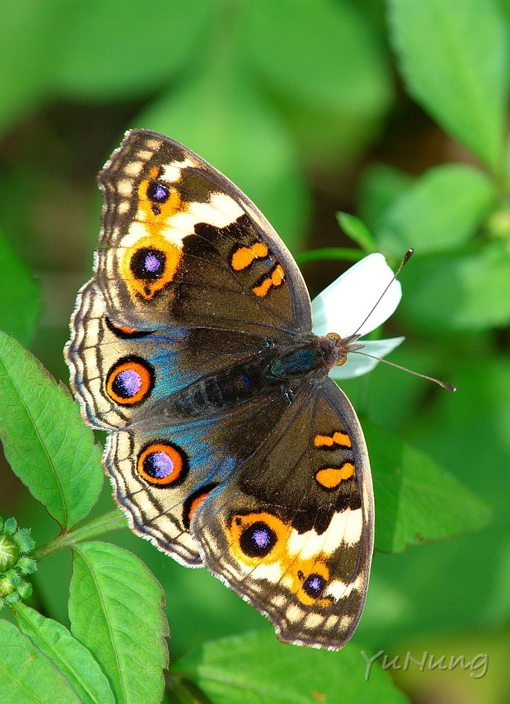 Blue Pansy female butterfly (Junonia orithya)