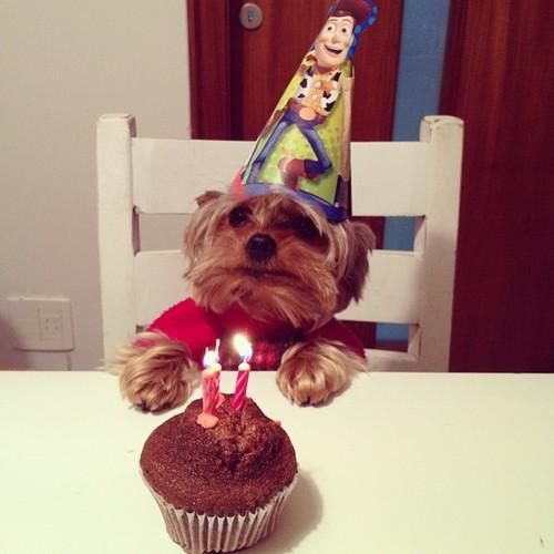 Yorkie Birthday... :3