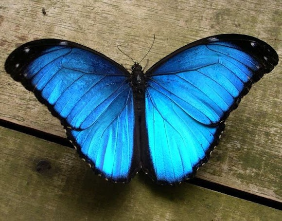Blue Morpho (Morpho menelaus). I saw one of these in the cloud forest in Costa Rica, and it was one of the most amazing things I ever saw. Just a sudden flash of brilliant color!