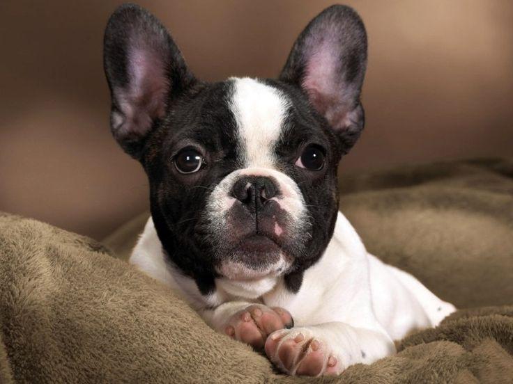 Dekoratív fajtájú kutyák: egy nagy lista a háziállatok és azok jellemzői (+ fotók) Francia bulldog