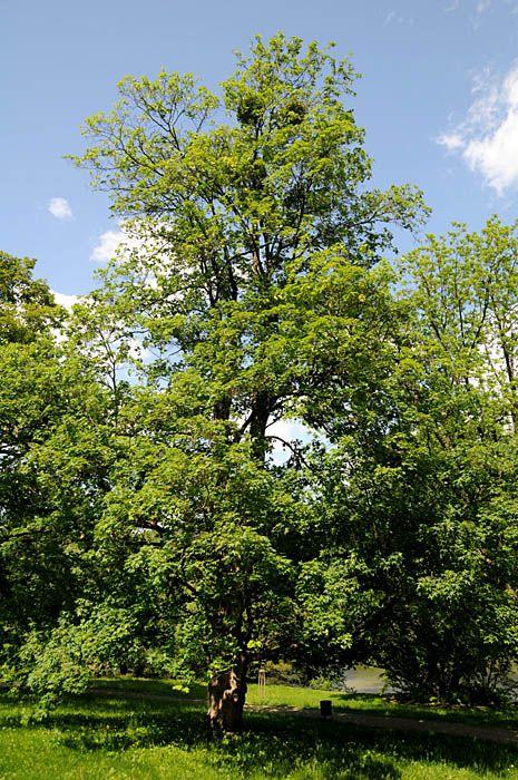 ACER PSEUDOPLATANUS  -- Sycamore Maple