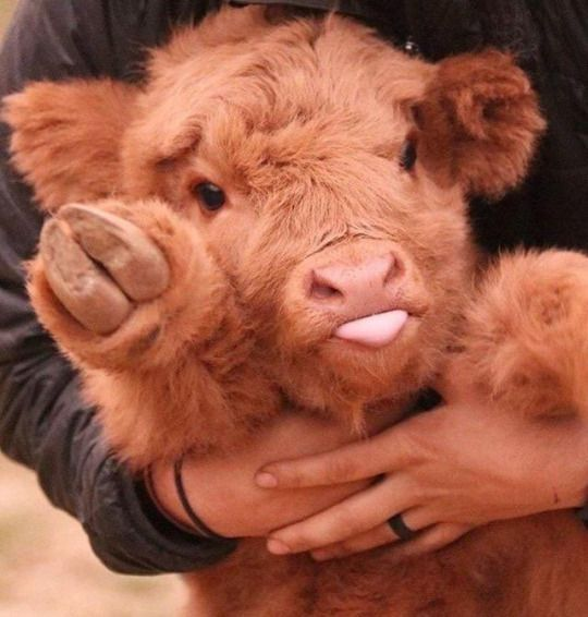 This baby cow is super fluffy and super adorable! <3