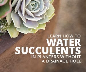 Watering Succulents in Pots without a Drainage Hole | Succulents and Sunshine
