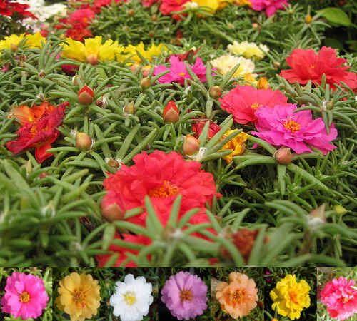 Portulaca. Succulent low ground cover with bright, tissue paper fine flowers.