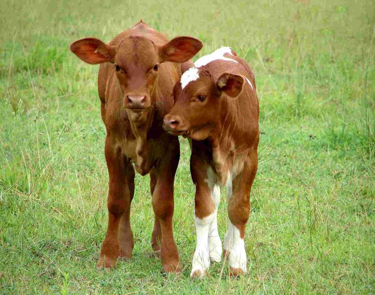 """Motherless calves are called """"Doggies"""".   """"Get-a-long-little-doggies-get-along-get-along!""""  photos of calves 