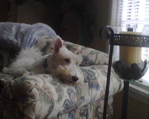 #Wire fox terrier Lazy afternoon