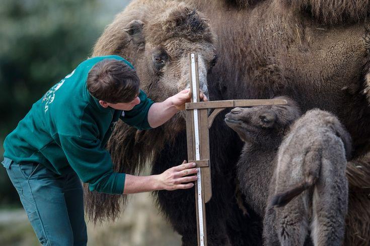 Cucciolo di cammello Saida accanto a sua madre Natascha,