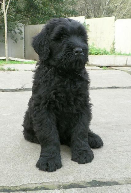 Black Russian Terrier... my dream puppy! <3