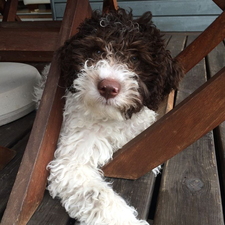 My 13 weeks old Lagotto Romagnolo puppy ❤️