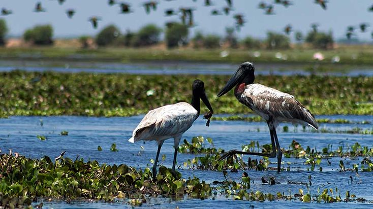 Seeking an Unspoiled Belize Paradise? Visit Crooked Tree Wildlife Sanctuary