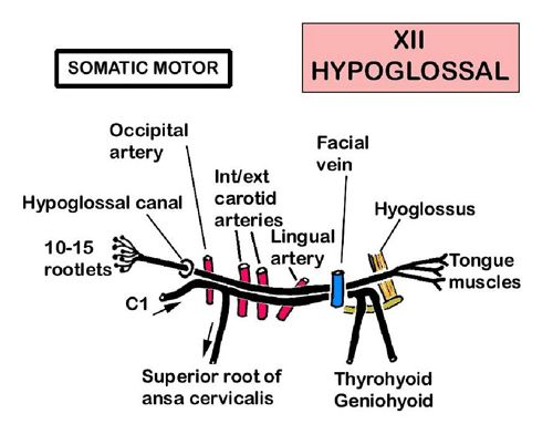 Instant Anatomy - Head and Neck - Nerves - Cranial - XII (Hypoglossal)