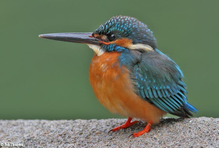 common kingfisher | Common Kingfisher (Alcedo atthis) photo