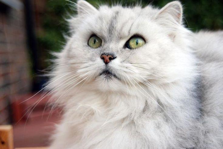 Vi piacciono i gatti morbidi, soffici, con un pelo lungo e invidiabile? Ecco le cinque razze di felini che vi daranno maggior soddisfazione.
